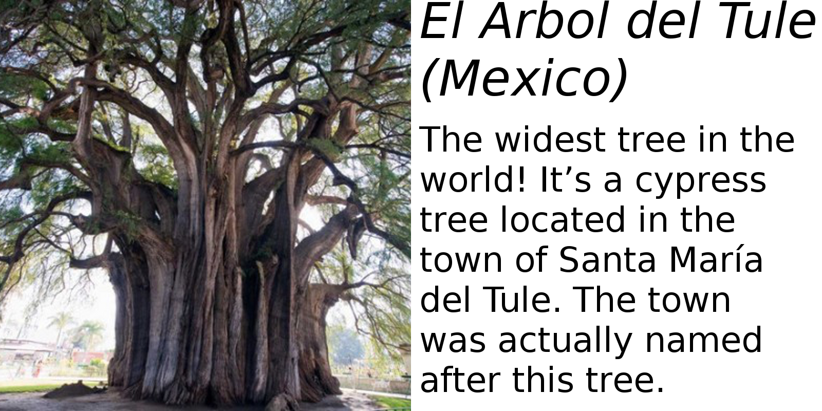 El Árbol del Tule (description) #2